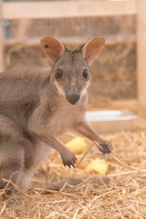 mini farm: Wallaby or Mini Kangaroo in farm