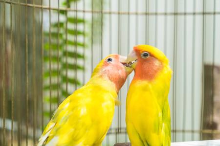 beautiful parrot lovebird loving Rosy faced
