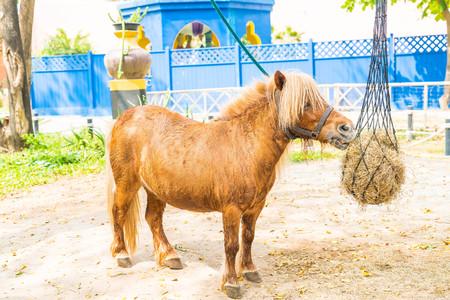 Mini dwarf horse (pony) in a pasture at a farm