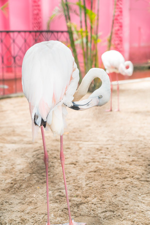 chilean: A flock of pink flamingos in the zoo