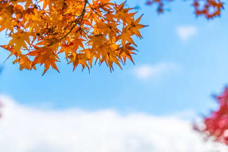 Red maple leaves blooming at park in Kyoto, Japan