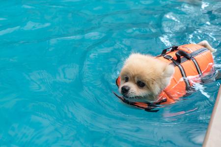 Hund schwimmen im Pool