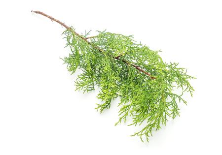 christmas tree leaf isolated on white background Stock Photo