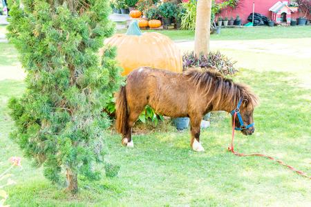 Mini dwarf horse in a farm.