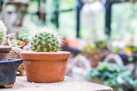cactus in flower pot in glass house