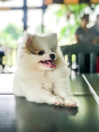 white and cute puppy pomeranian
