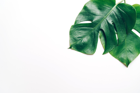 Monstera leave on color background with copy space