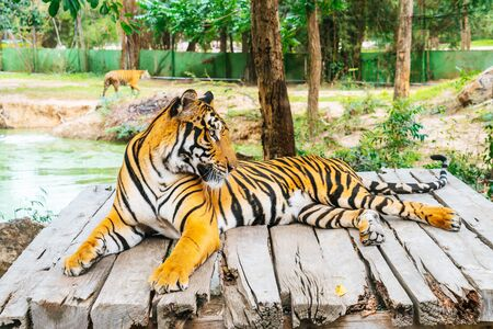 Bengal tiger lying on wood