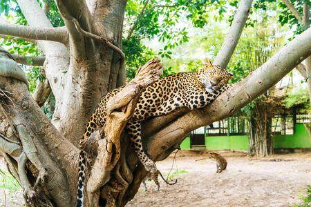 A leopard lying on wood