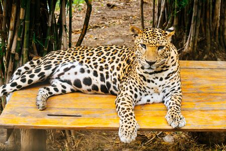a leopard lying on wood