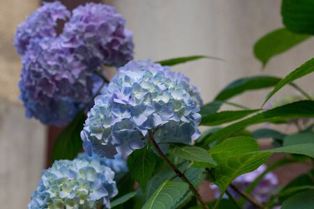 Blue hydrangea flowers. Hydrangea (common names hydrangea or hortensia) is a genus of 70-75 species of flowering plants native to southern and eastern Asia and the Americas.