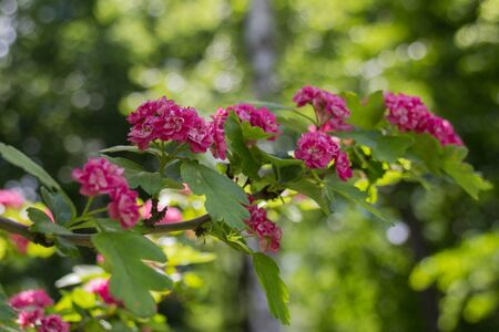 Pink blooming flowers on the branch in the park