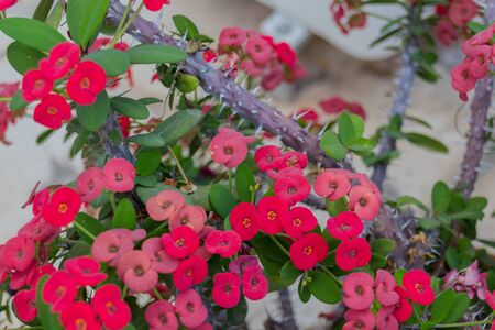 Blossoming Euphorbia milii. Euphorbia milii (crown of thorns, Christ plant, Christ thorn) is a species of flowering plant in the spurge family Euphorbiaciae, native to Madagascar.