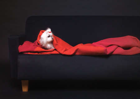 White lhasa apso covered in a blanket