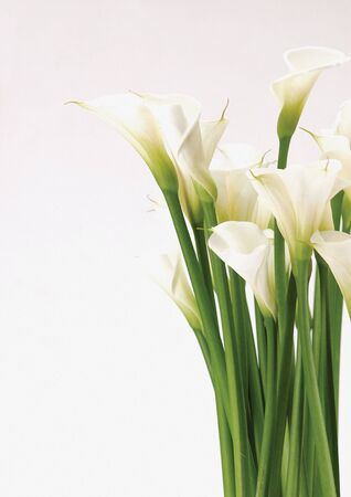 Close-up of calla lilies                                 Stock Photo