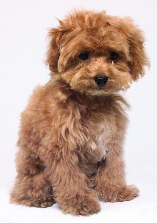 dogs sitting: Retrato de un perro marr�n