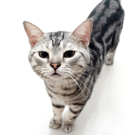 pampered: American shorthair cat was smelling the cat food