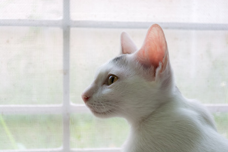 looking forward: White cat is looking forward