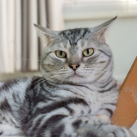 pampered: American shorthair cat Stock Photo