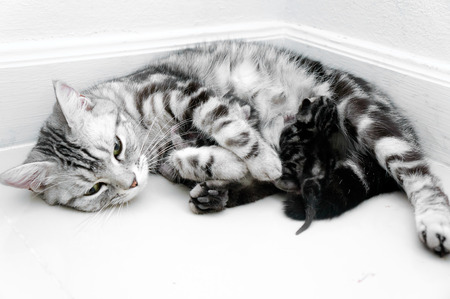 shorthair: American shorthair mother cat was breastfeeding Stock Photo