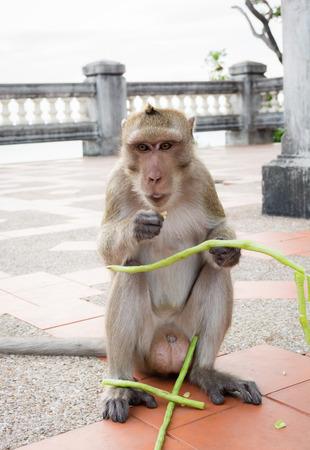 vigna: Monkey sitting and eating Vigna unguiculata