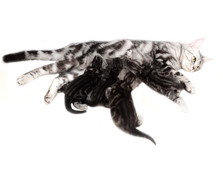 lactancia materna: American shorthair mother cat was breastfeeding Foto de archivo