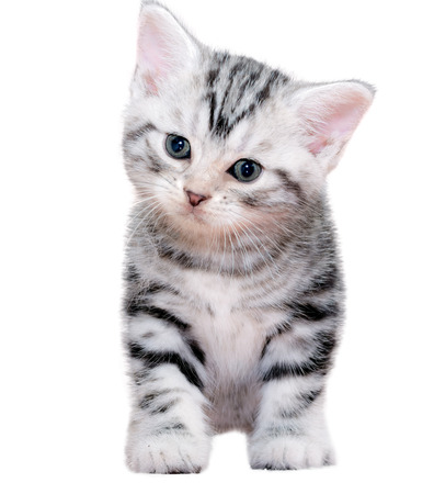pampered: Cute American shorthair cat kitten. Isolated o white background