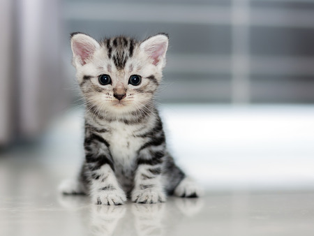 Cute American shorthair cat kitten Stock Photo - 54942382
