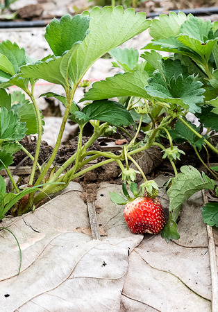 strawberry tree: Strawberry Tree In The Garden Of Thailand Stock Photo