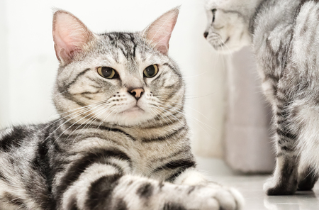 pampered: American shorthair cat is sitting and looking forward