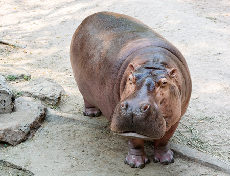 cute hippopotamus  in tanzania