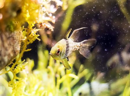 in pajama: Pajama cardinal-fish Stock Photo