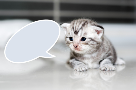 pampered: Cute American shorthair cat kitten with dialogue bubble