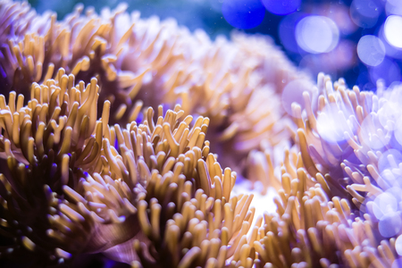 stony coral: Pink coral, violet coral stony coral Acroporidae