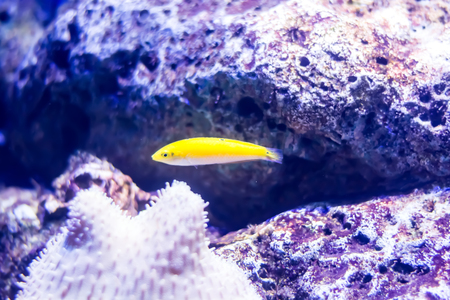 wrasse: Canary Wrasse Fish or Halichoeres Chrysus