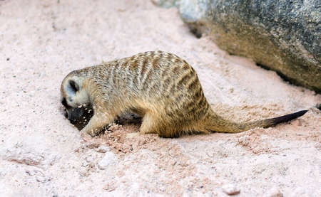 dig: cute light brown Meercat were dig the soil