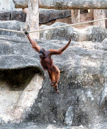 sandakan: Orangutan swinging on rope Stock Photo