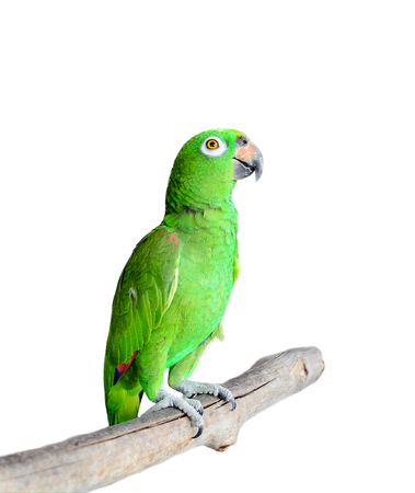 Parrot on Branch Isolated on White Background