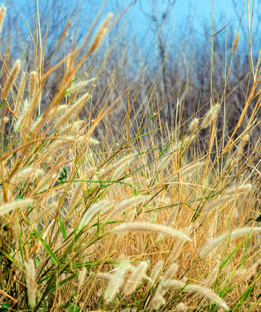 reed: reed grass