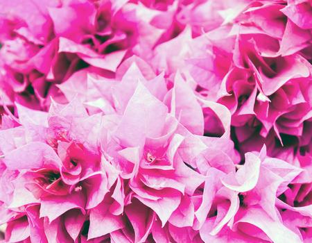 color bougainvillea: Pink Bougainvillea flowers. Vintage Color Style.
