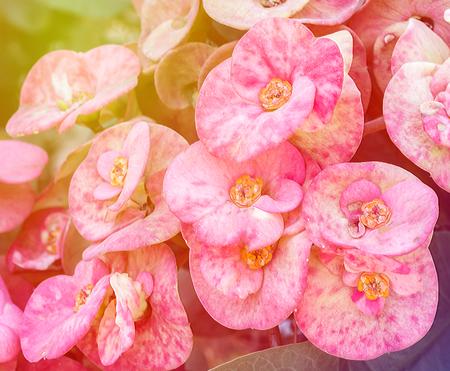 poi: Pink Poi Sian flowers in vintage tone Stock Photo