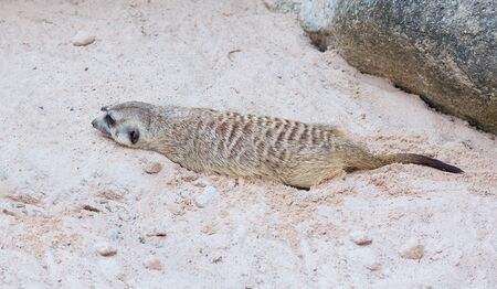 desert sun: Cute light brown Meercat havinf the rest in the desert sun while digging a hole in the sand