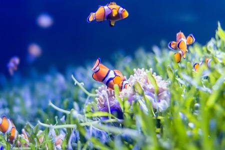 nemo: Nemo fish in aquarium for background.