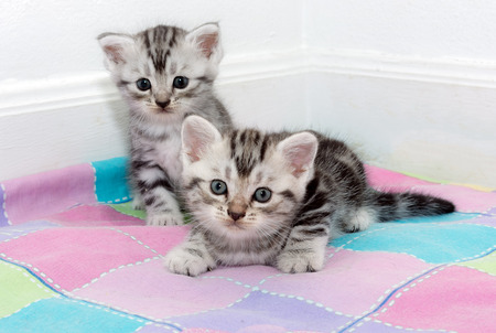 pampered: Cute American shorthair cat kitten with copy space Stock Photo