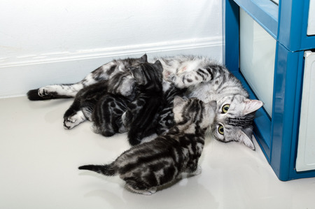 shorthair: American shorthair mother cat was breastfeeding Stock Photo