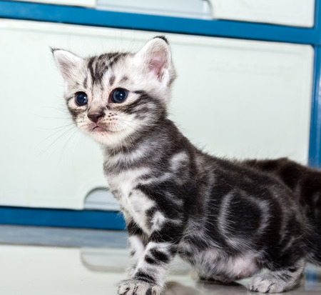 shorthair: Cute American shorthair cat kitten with copy space Stock Photo