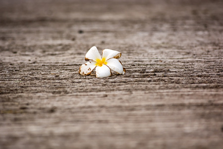 Dried or wither Frangipani tropical flowers, Plumeria flowers on asphalt road. Stock Photo