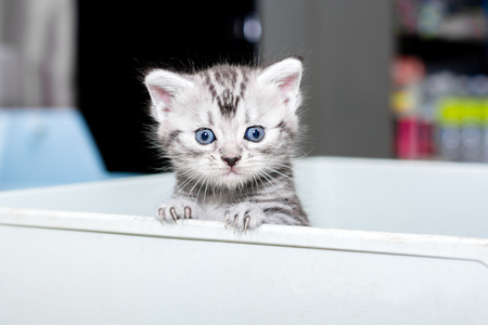 Cute American shorthair cat kitten with copy space Stock Photo