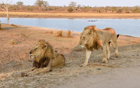 keystone: male lion walking past sitting male lion