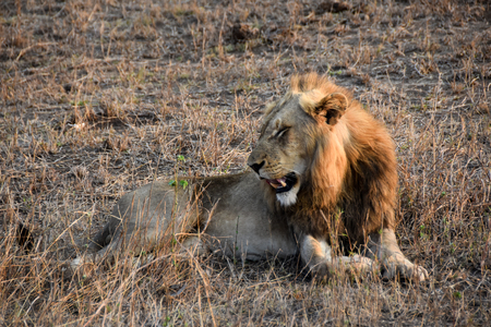 male lion: male lion growling in the wild Stock Photo